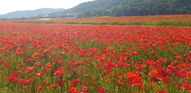 꽃양귀비 축제 1.jpg