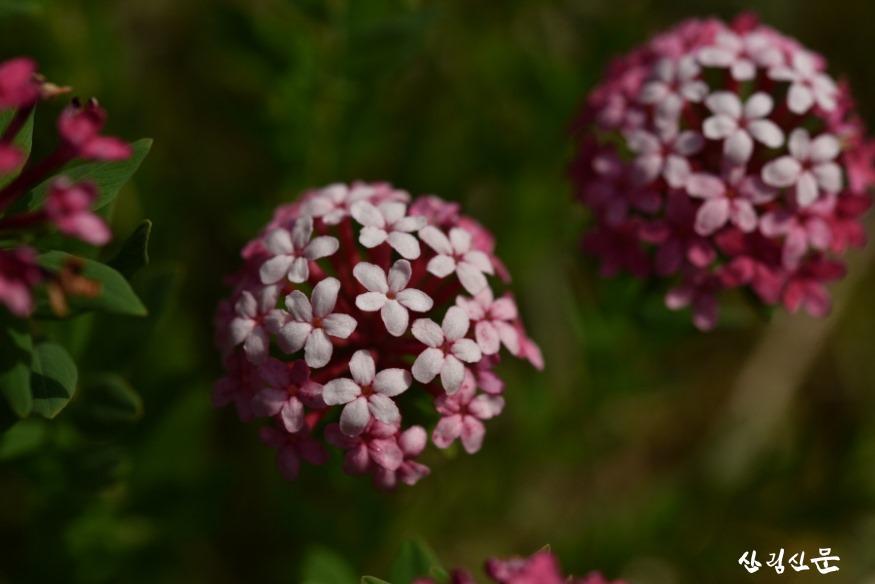 크기변환_활짝핀 피뿌리풀 꽃.JPG