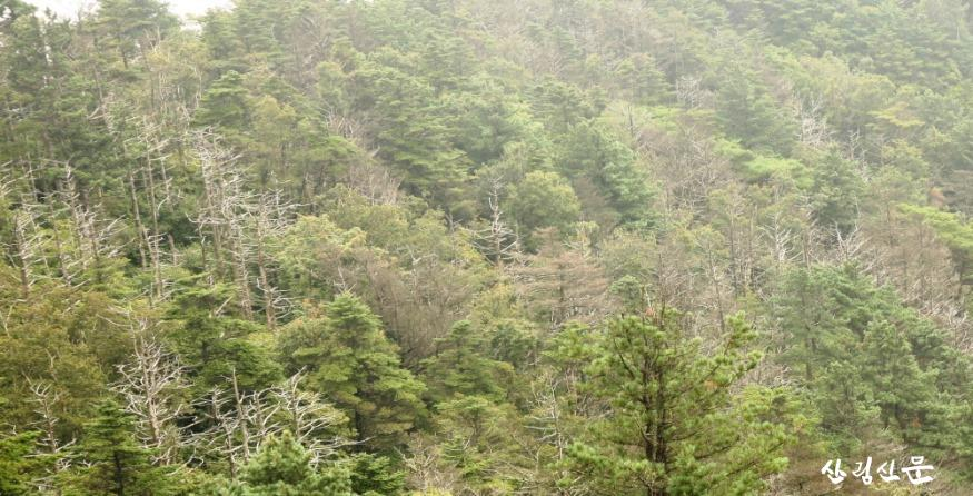 크기변환_집단으로 고사한 지리산 구상나무.JPG