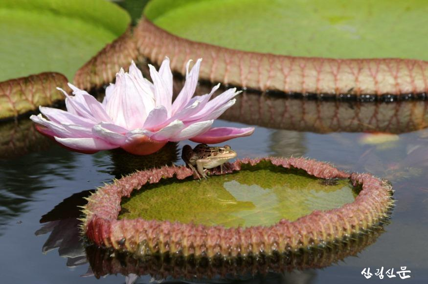 [크기변환]re빅토리아 크루지아나 꽃 잎 아래서 휴식을 취하고 있는 개구리.jpg