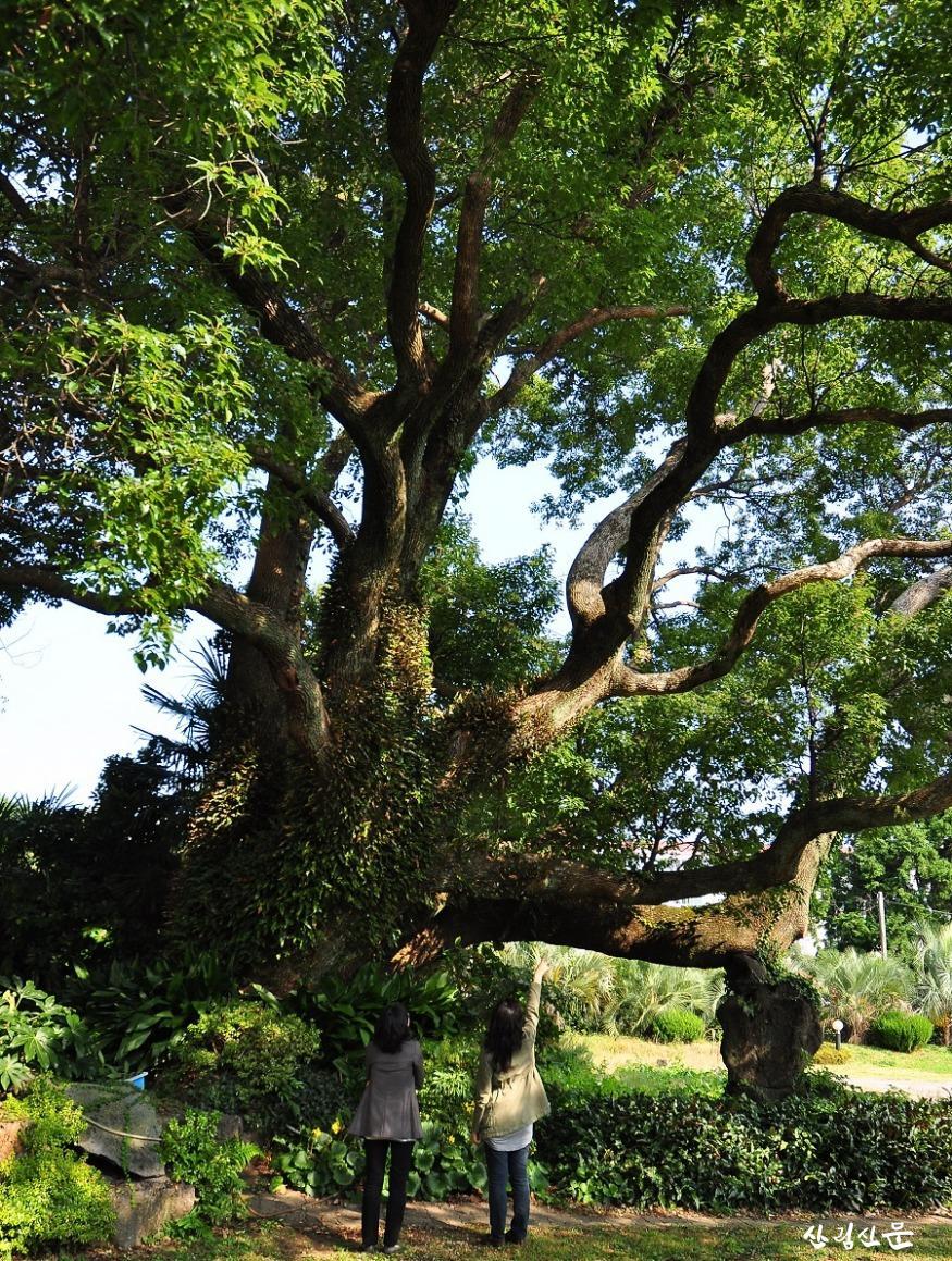 05. 서귀포시 녹나무.jpg