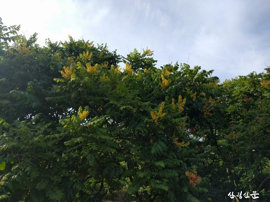 모감주나무 꽃(원경).jpg