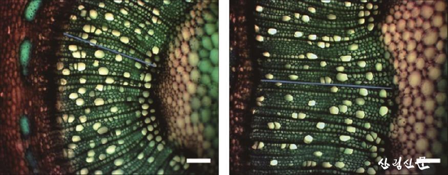붙임자료2-2. 일반 포플러의 직경 생장(왼쪽).jpg