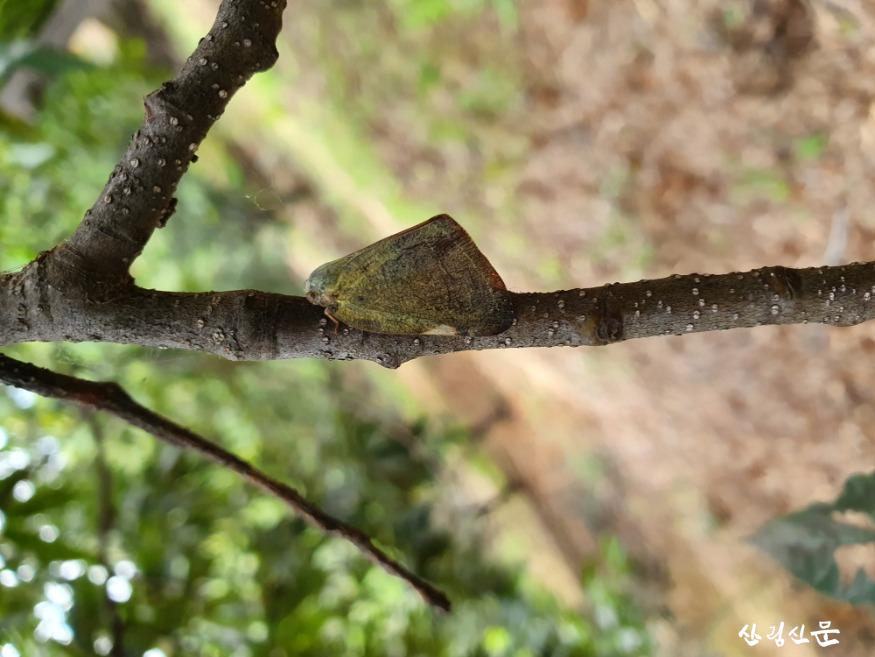 붙임 2. 산란중인 갈색날개매미충 성충.jpg