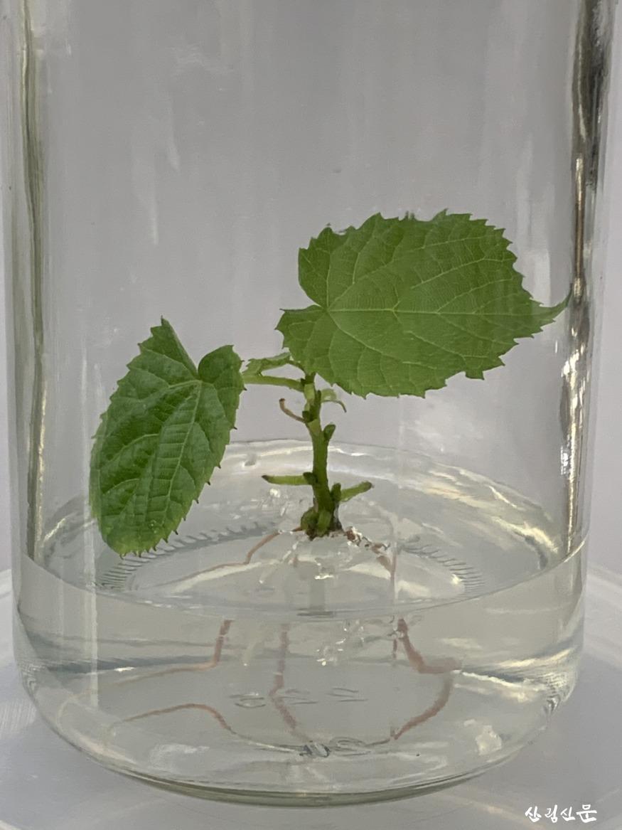 발근 유도를 통한 식물체 생산(2).jpg