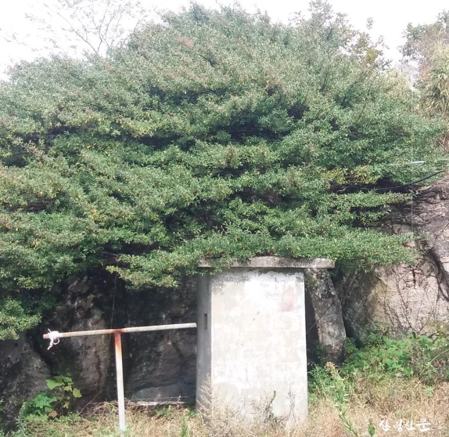 줄사철나무 (1).JPG