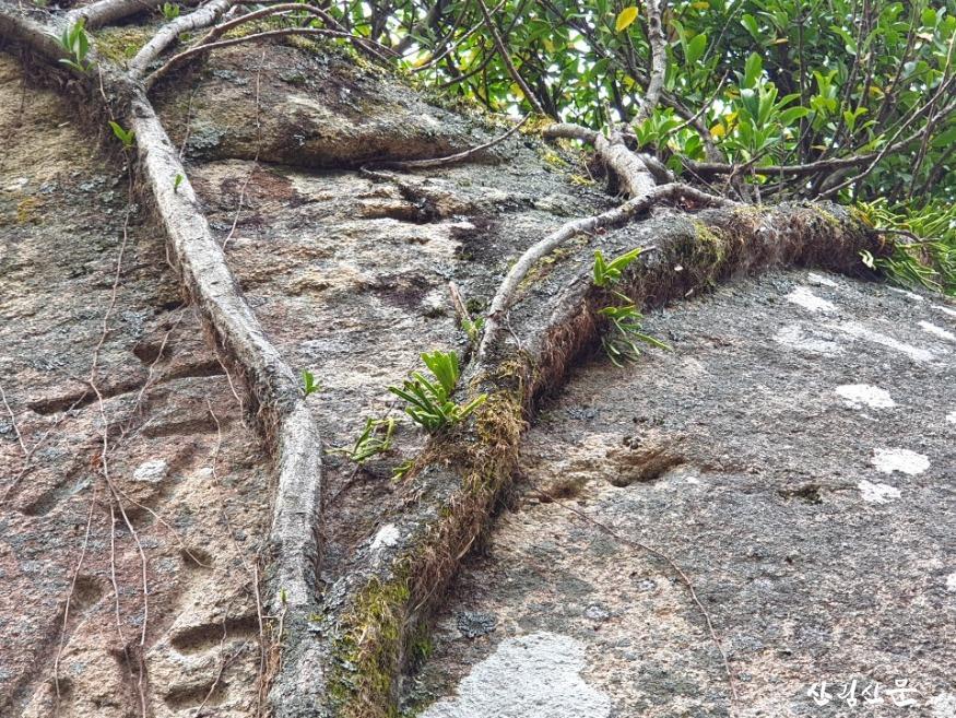줄사철나무 (4).JPG