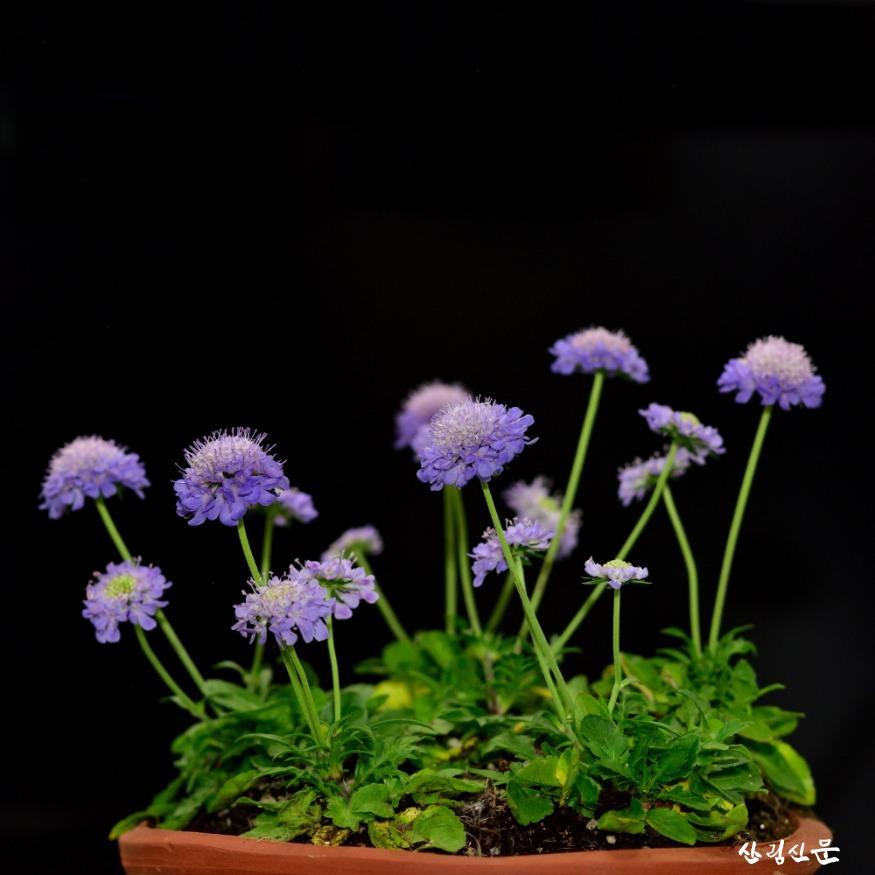 (200211) 관련사진-솔체꽃 `블루아이즈`.jpg