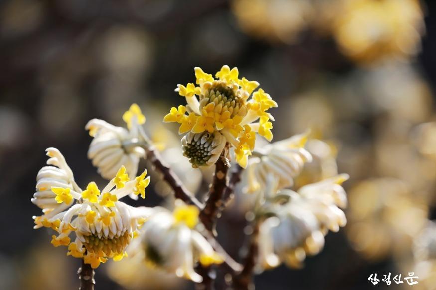 바깥에서 안쪽으로 점점 꽃이 피고 있 는 삼지닥나무 _그랜디플로라_.jpg
