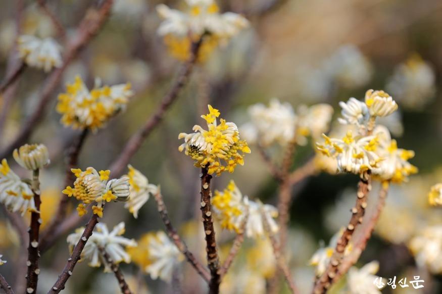 가지 끝마다 노란 꽃이 피고 있는 삼지닥나무 _그랜디플로라_.jpg