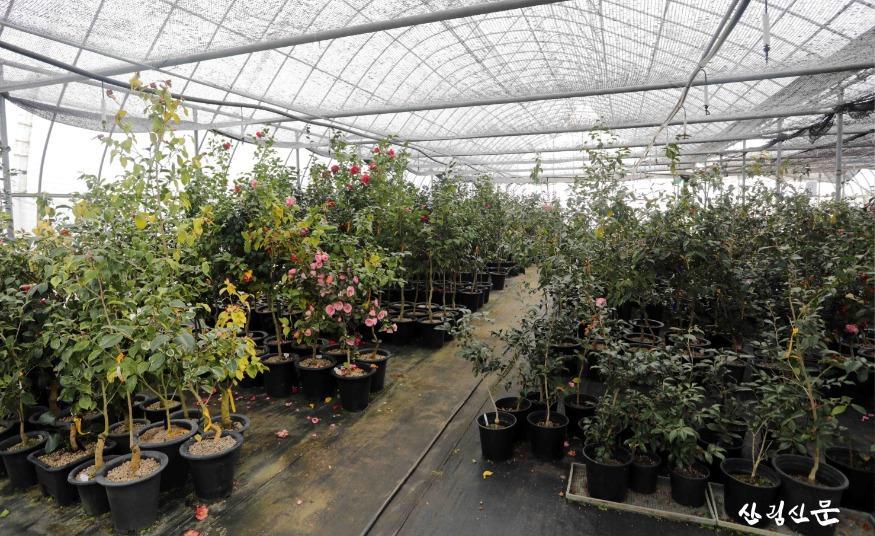 천리포수목원 번식온실에 핀 다양한 동백 꽃.jpg