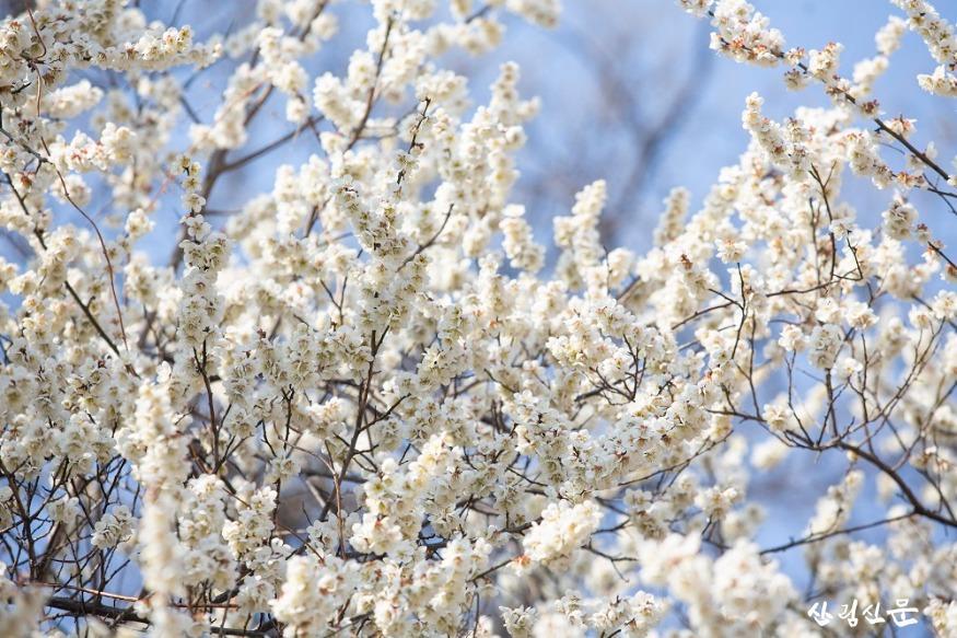 홍릉숲에 핀 매실나무 1.jpg