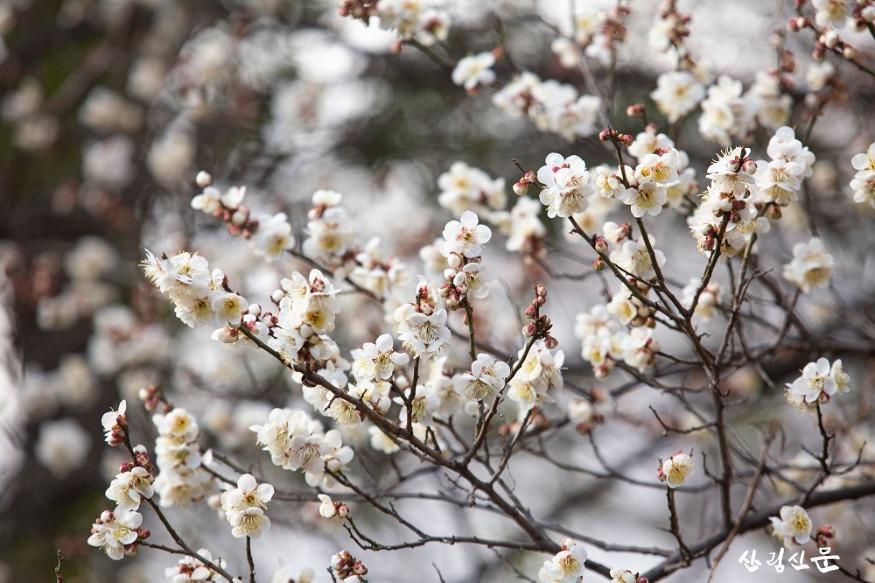 홍릉숲에 핀 매실나무 2.jpg