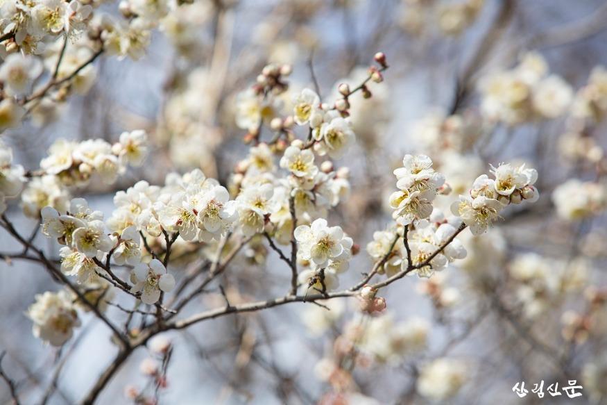 홍릉숲에 핀 매실나무 3.jpg