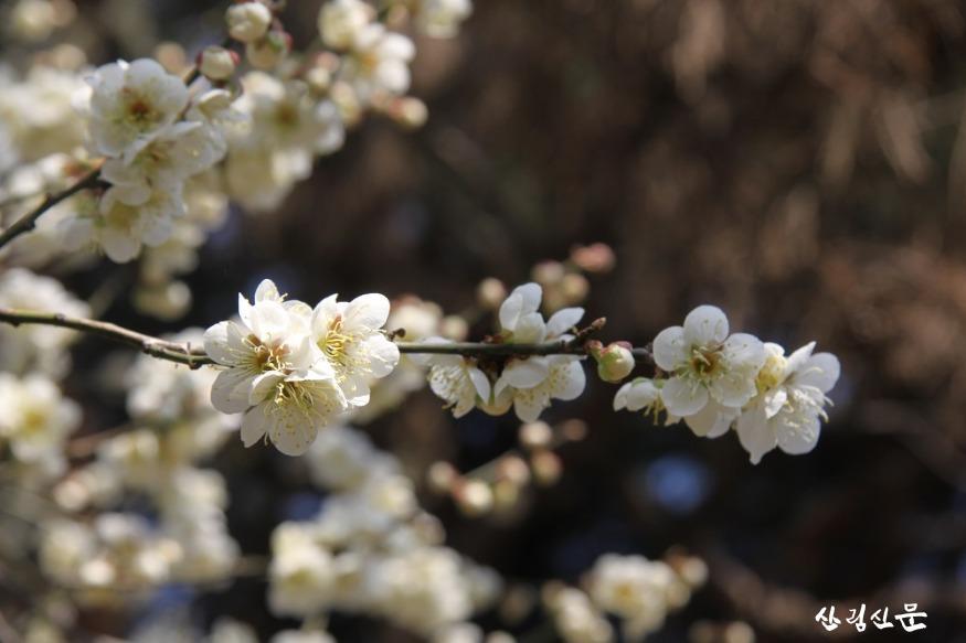 홍릉숲에 핀 매실나무 4.JPG