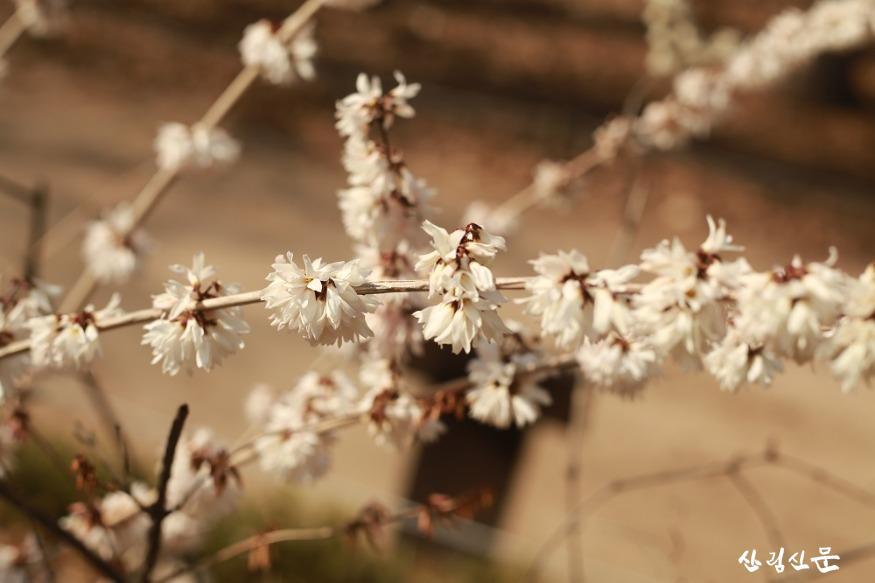 홍릉숲에 핀 미선나무 1.JPG