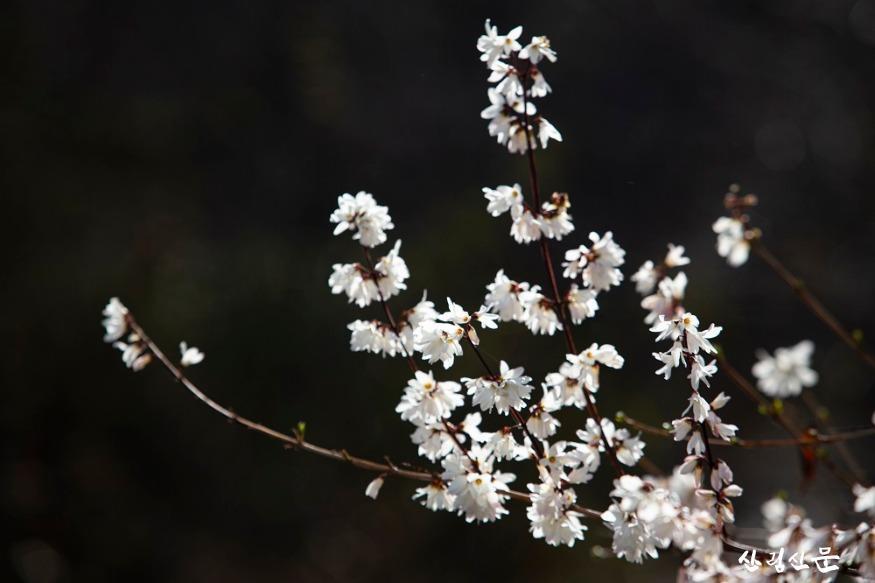 홍릉숲에 핀 미선나무 2.jpg