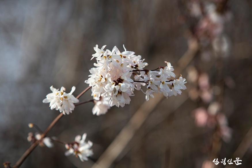 홍릉숲에 핀 미선나무 3.jpg