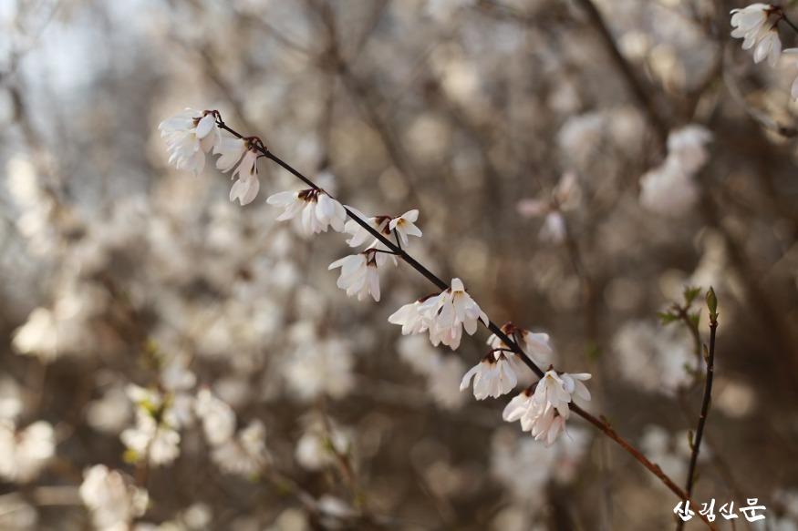 홍릉숲에 핀 미선나무 4.JPG