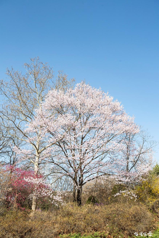 올벚나무_01.jpg