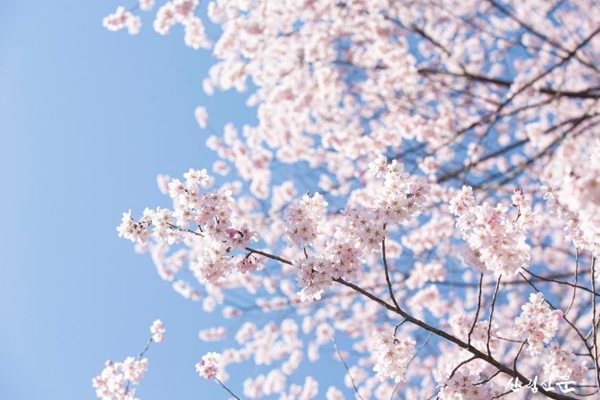 올벚나무_02.jpg