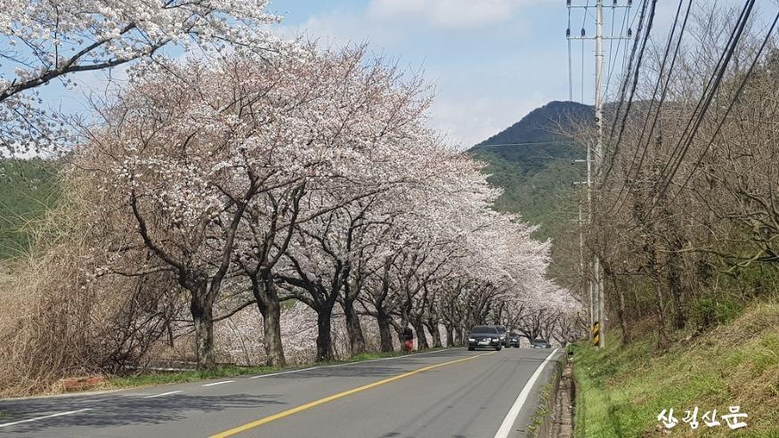 왕벚나무_01.jpg
