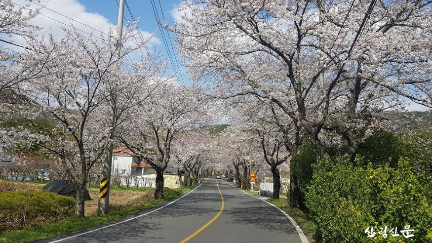 왕벚나무_02.jpg