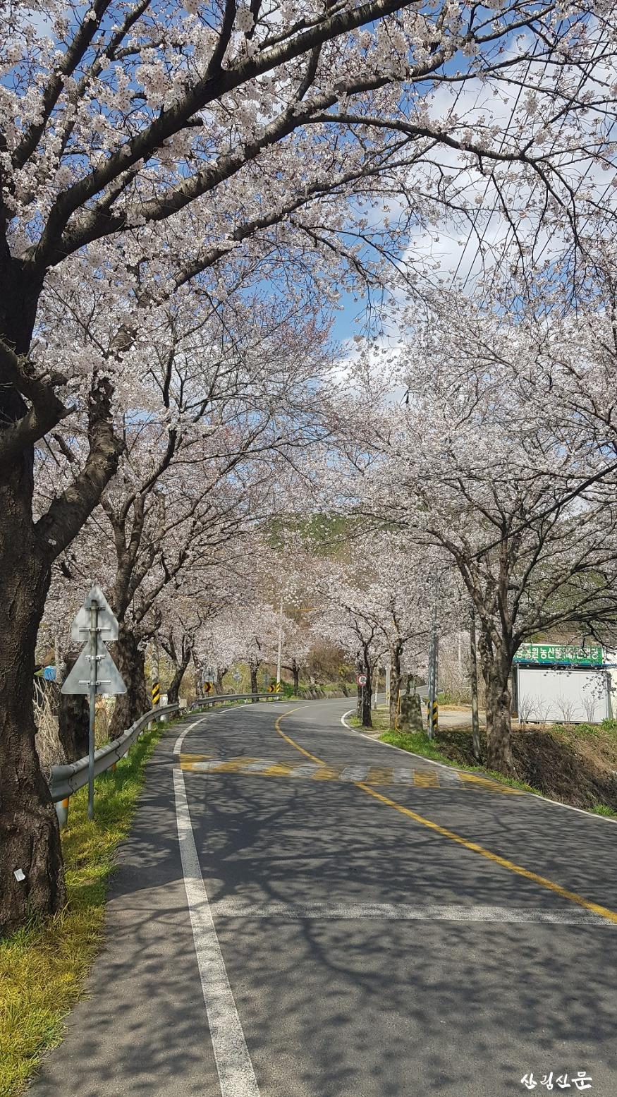 왕벚나무_03.jpg