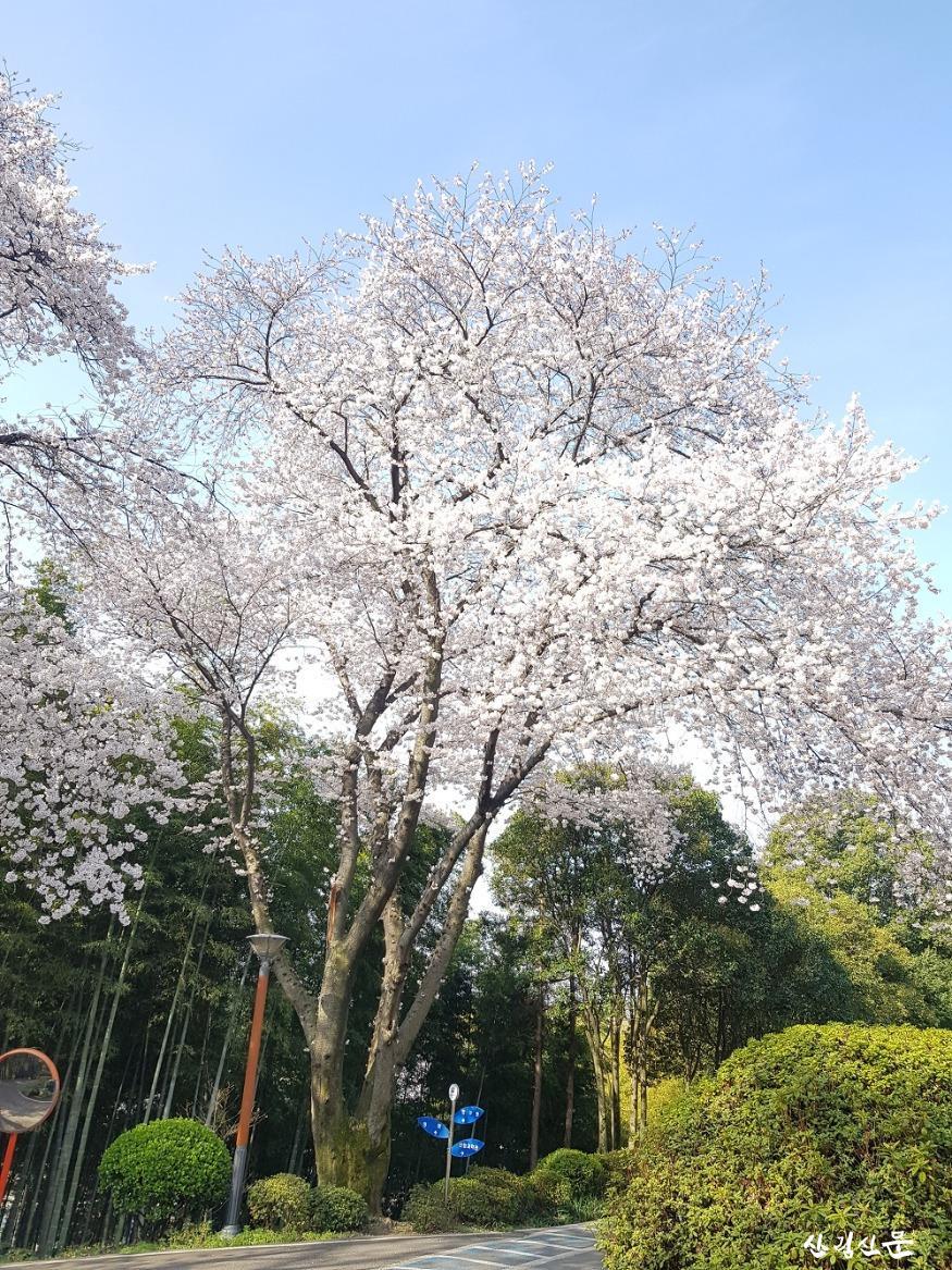 왕벚나무_04.jpg
