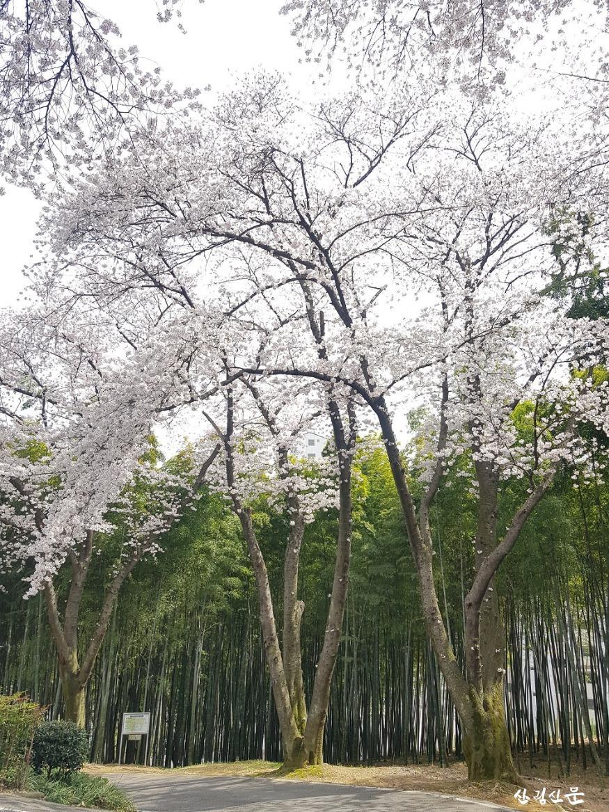 왕벚나무_05.jpg