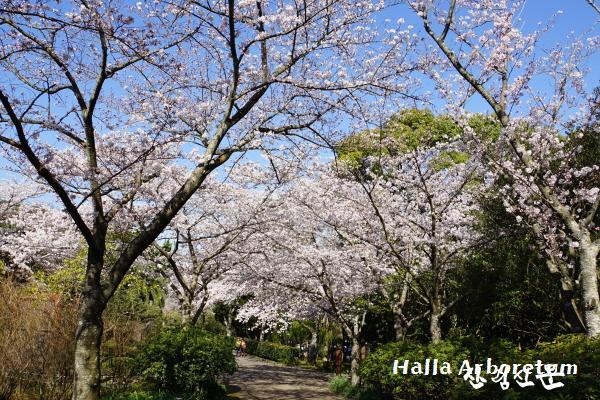 벚나무DSC04979.JPG