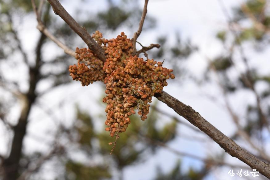 붉나무열매.JPG