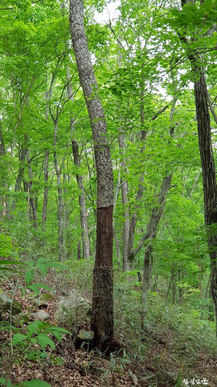굴참나무 나무껍질(수피) 벗김 피해.jpg