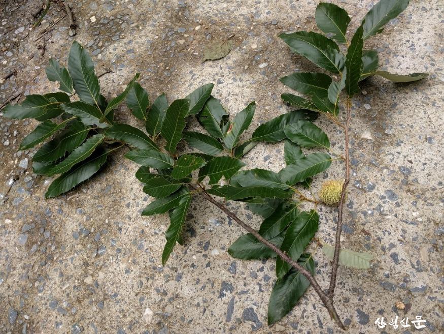 굴참나무 잎.jpg