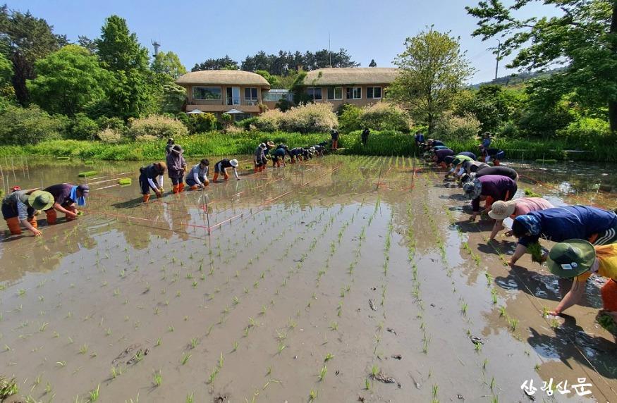 천리포수목원 직원 및 교육생이 수목원 내 오리농장에서  못줄을 띄워 모내기를 하고 있는 모습 (3).jpg