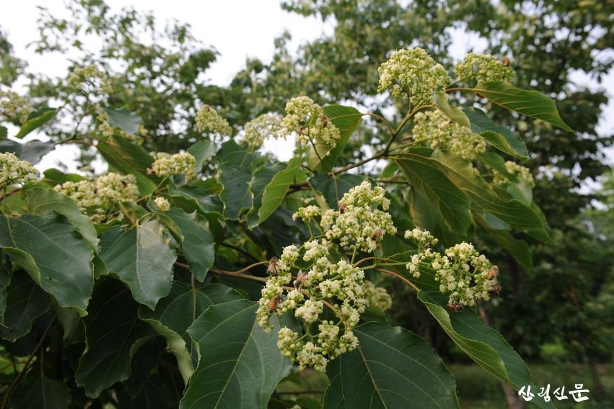 1. 헛개나무 꽃 꿀벌 방화.JPG
