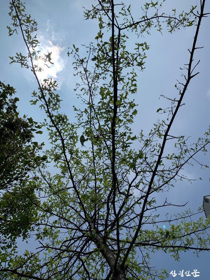 3. 대왕참나무 잎 피해.jpg