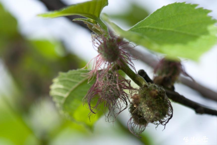 닥나무 꽃-윗부분이 암꽃, 아랫부분이 수꽃.jpg