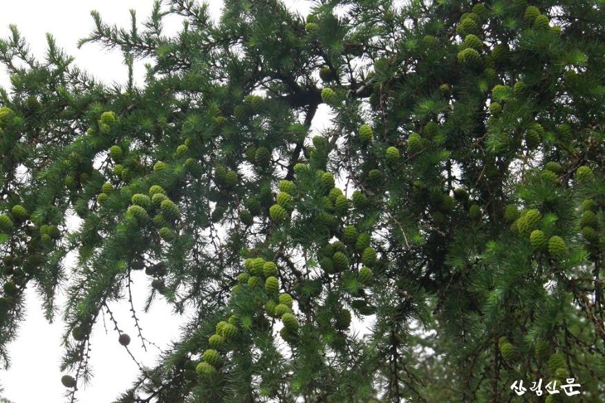 붙임 1.주요 조림수종인 충주 채종원의 낙엽송 구과.jpg