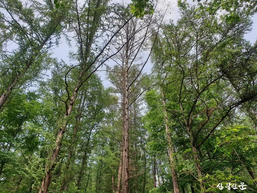 리지나뿌리썩음병에 감염된 낙엽송 고사목 1.jpg