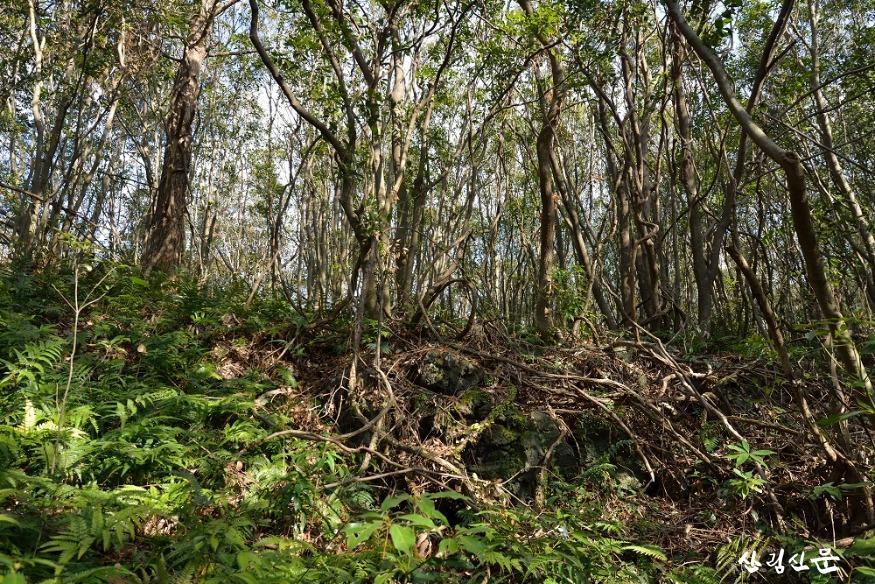 곶자왈의 상록활엽수림.JPG