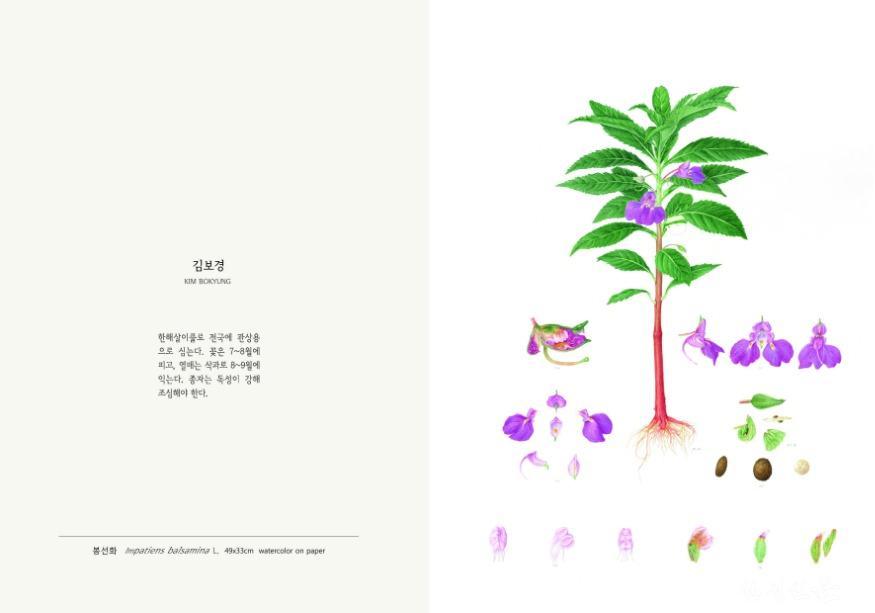 201007_독성식물세밀화_봉선화.jpg