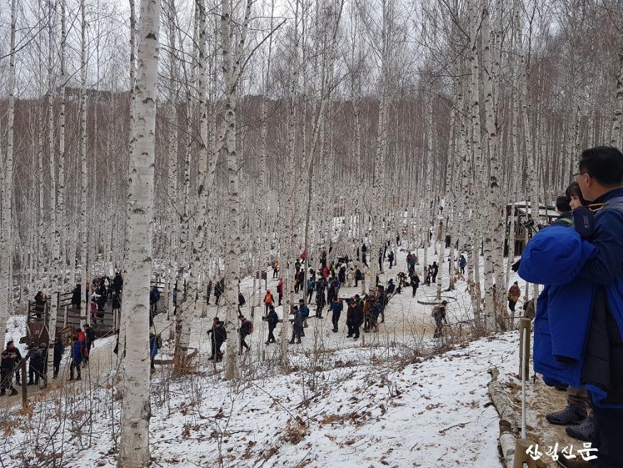 겨울 인제 자작나무 숲 을 즐기는 관광객.jpg