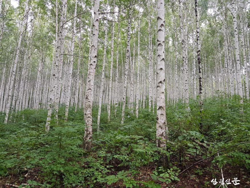 여름 인제 자작나무숲 경관 1 .jpg