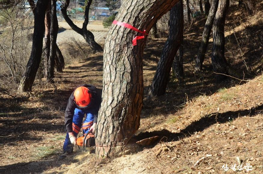 관련사진2.피해고사목 단목벌채.JPG