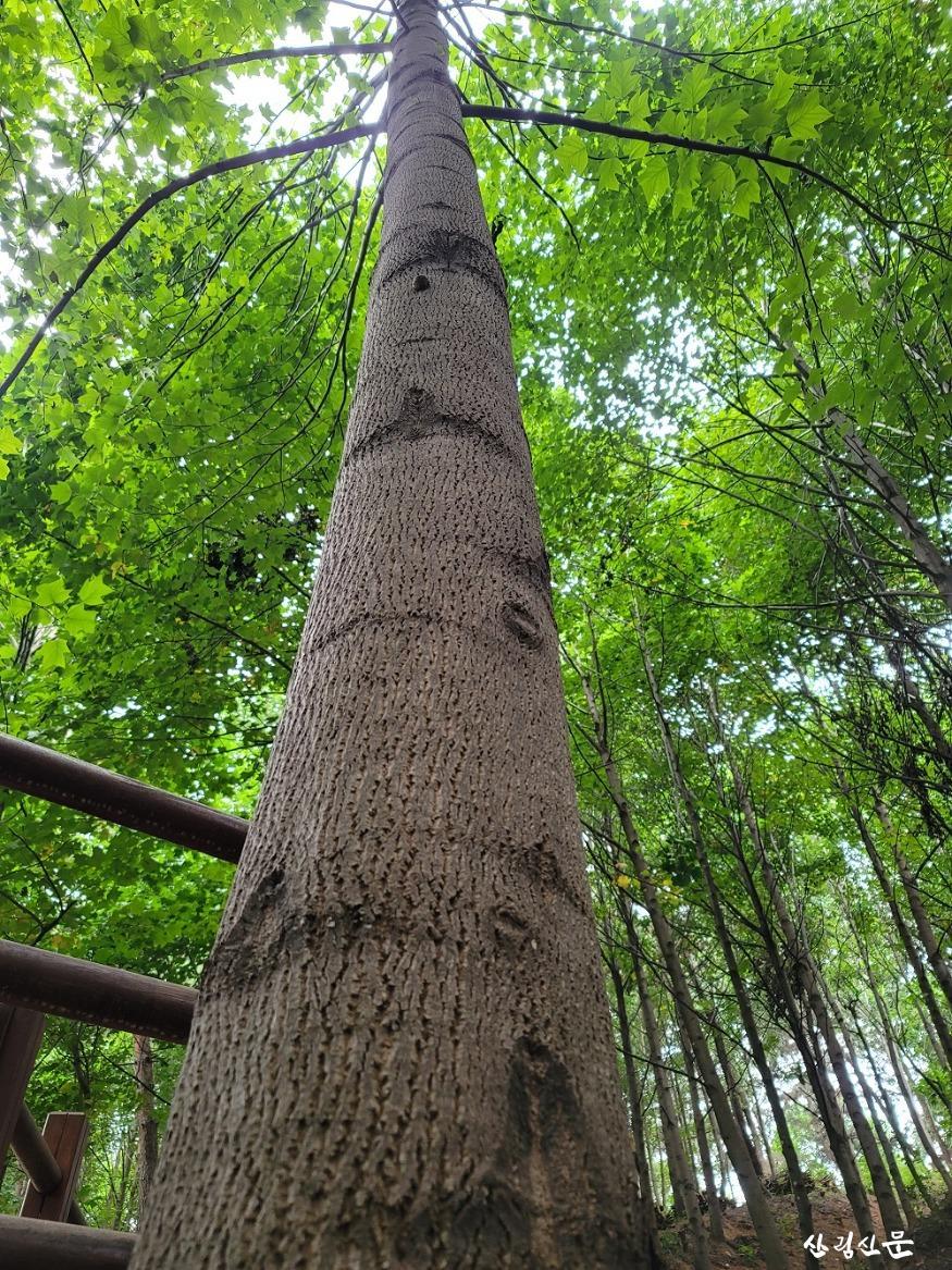 사진3_우리가 키운 우수조림지 백합나무 근경.jpg