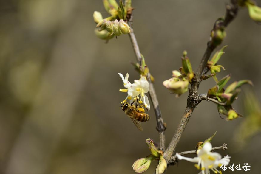 첨부4_길마가지나무 꽃의 양봉꿀벌.JPG