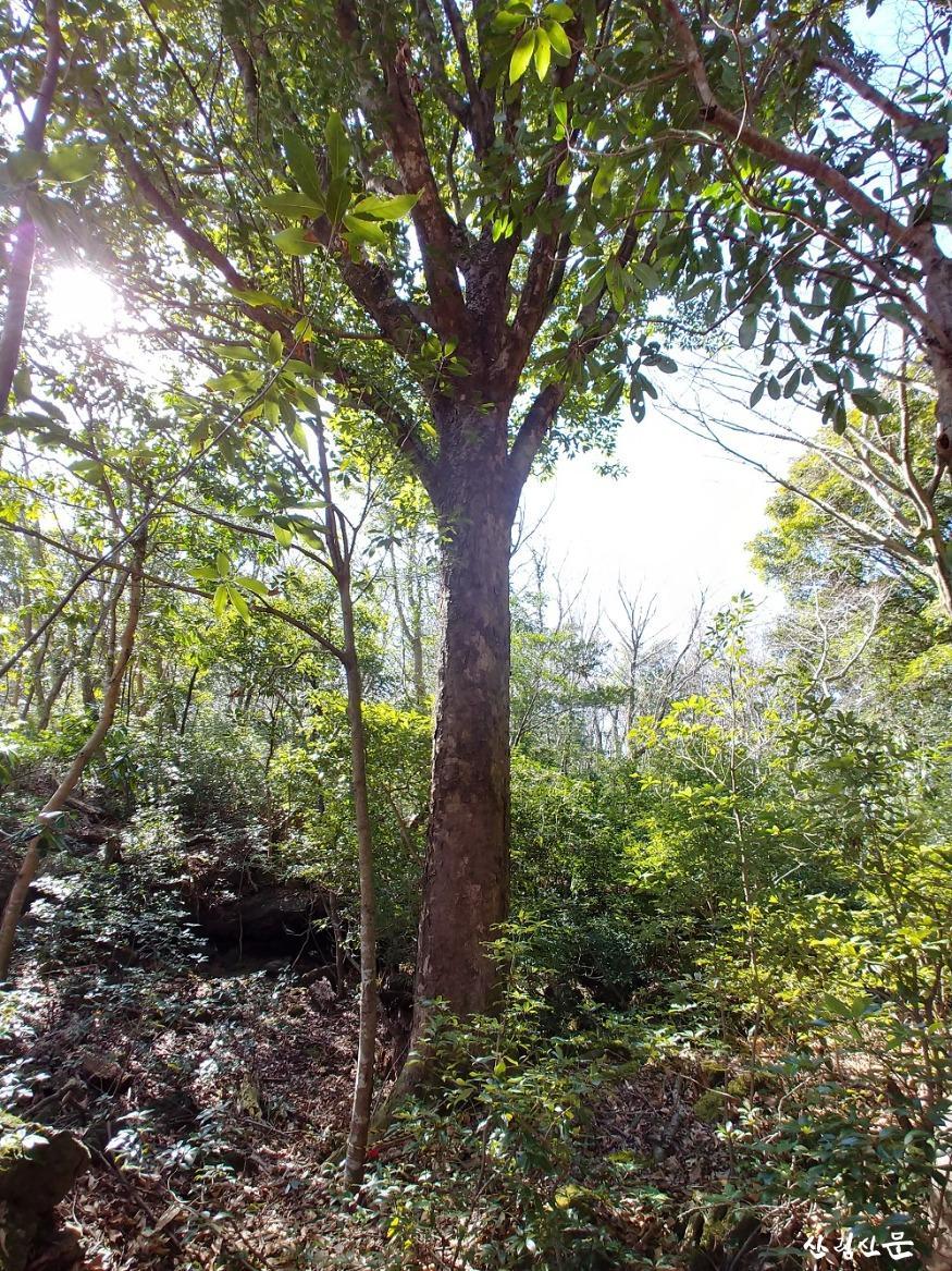 붉가시나무 자생림.jpg