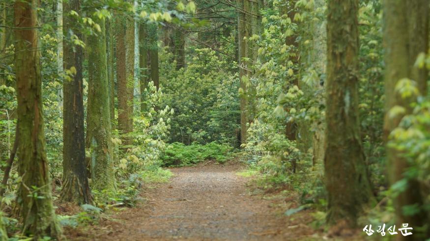신비의 삼나무 숲.JPG