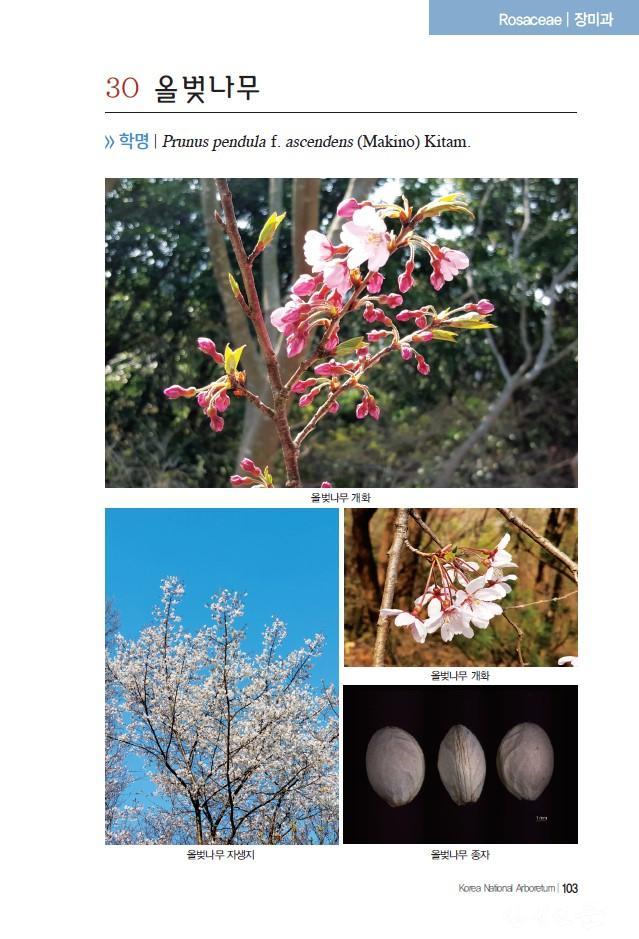 붙임_올벚나무1.jpg